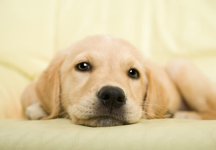 Golden retriever puppy - fototapeta 366x254 cm